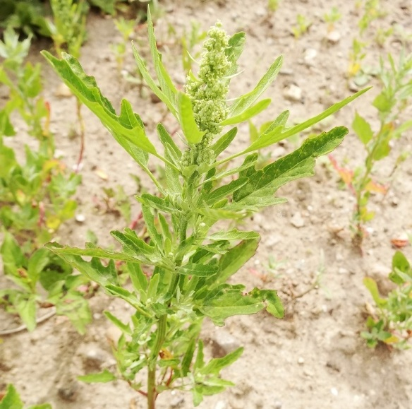 Stippelganzevoet Chenopodium ficifolium)